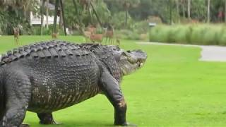 12ft Gator on Fripp Island Golf Course - South Carolina