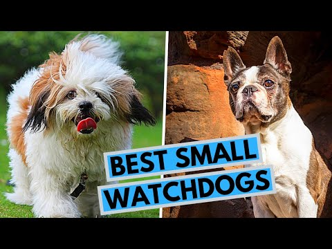 TOP 10 Best Small Watch Dogs