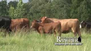 Beefmasters Work For Commercial Cattlemen!