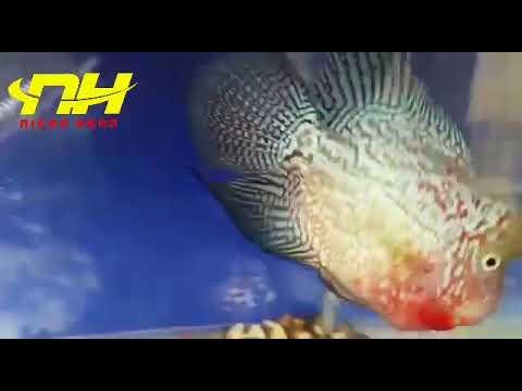 King Fish Iran