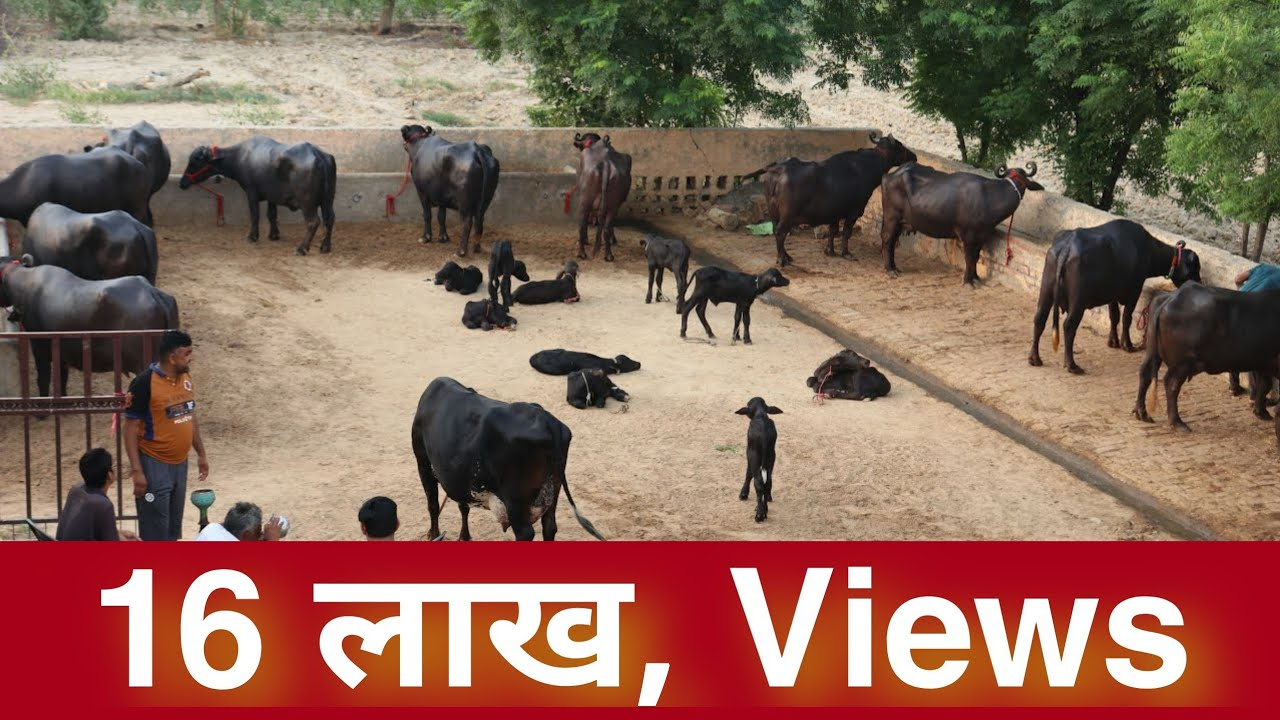 Buffaloes available FOR SALE at Kaswan Dairy Farm. Village-Sarsana,Hisar, Haryana