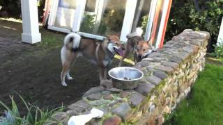 Sui & Shousei playing, 2 shikoku ken in love, 四国犬.