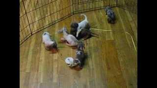 Dachshund Puppies Playing