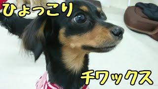 柴犬 さくくん フレンチブルドッグ Vinoちゃん トイプードル めるくん ...