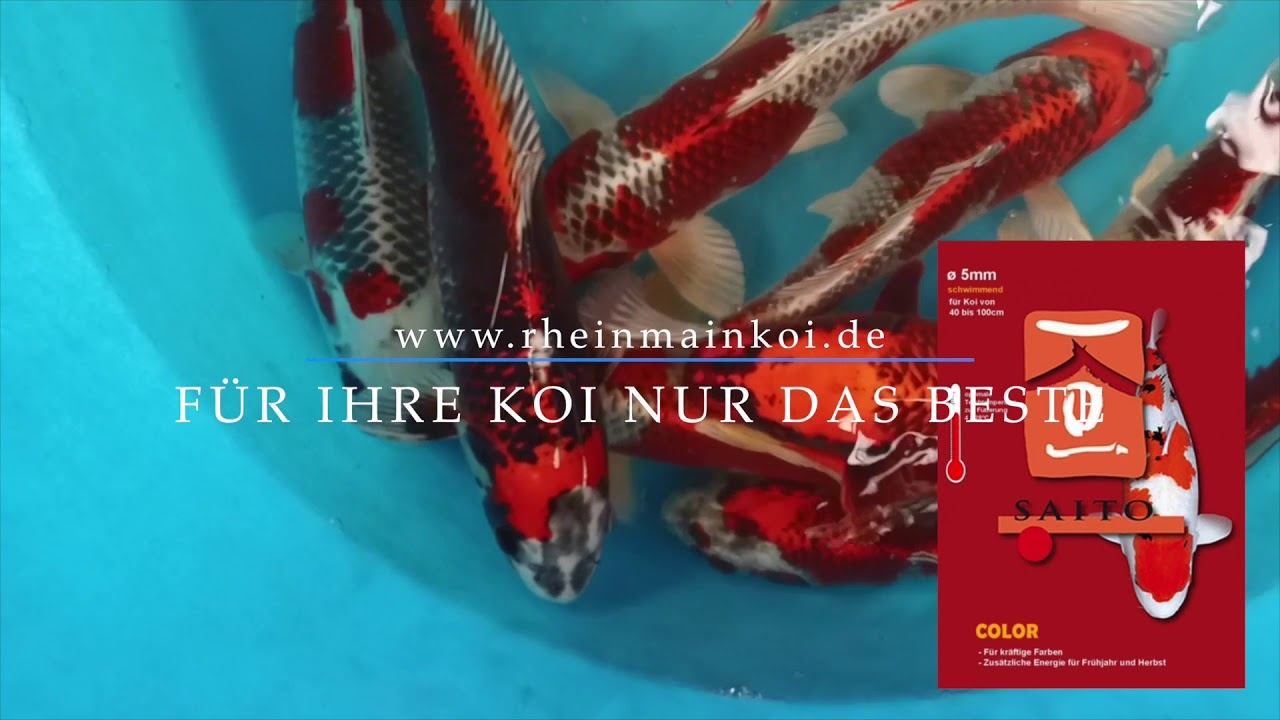 koi blog hb kujaku f r das aquarium in braunschweig 00301 youtube. Black Bedroom Furniture Sets. Home Design Ideas
