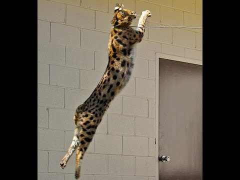 Coolest Serval Jump!