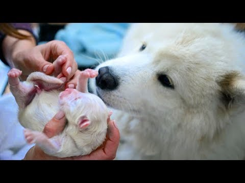 Samoyed- A Breed Of Large Herding Dog Giving Birth To Many Cute Puppies