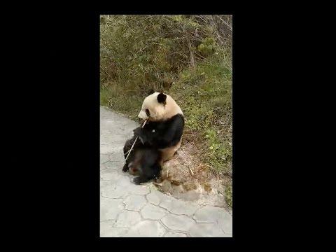Wild Giant Panda Strolls Around Park In Northwest China