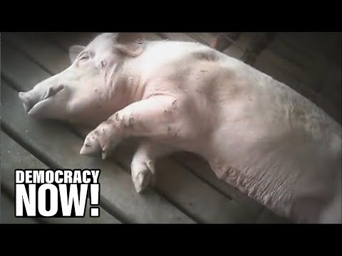 "Debate: After Activists Covertly Expose Animal Cruelty, Should They Be Targeted With ""ag-gag"" Laws?"