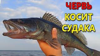 СУДАК СХОДИТ С УМА ОТ ЭТОГО ЧЕРВЯ!! Рыбалка летом на спиннинг. Ловля судака на джиг