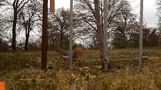 Electric fence fruit tree squirrel test..