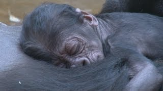 live birth gorilla baby at prague zoo