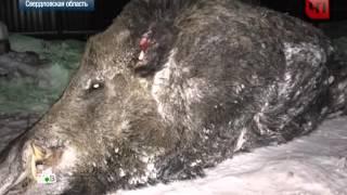 Самый большой кабан в мире убит в Свердловской области, удачная охота на кабана(О ТВ рассказали как дикий кабан напал на человека Особенностью этого случая является тот факт, что лесное..., 2015-11-26T10:13:39.000Z)