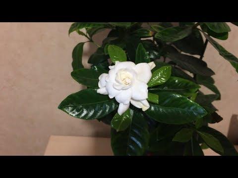 Гардения жасминовидная цветет. Уход в домашних условиях.