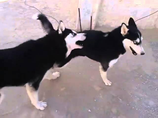 كلاب الهاسكي الاصلي Youtube