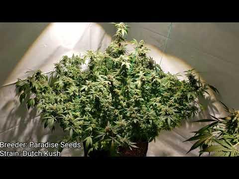 Optic 1 XL vs Optic 1 Photoperiod Grow - Week#8 flower - Growing Medical Cannabis (4K HD)