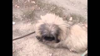 Бездомный пёс Чак выгуливает собак