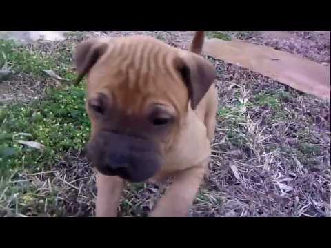 My Boxer Shar Pei Puppies Playing