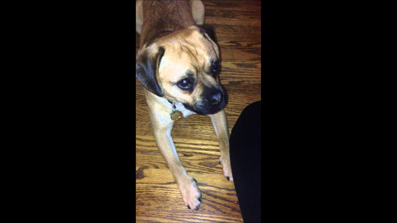 Puggle Puppy Benson Saying Sorry!
