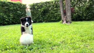 """Joey"" 8 weeks old Border Collie puppy!!!"