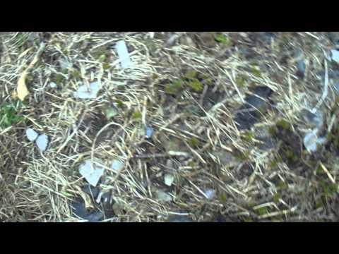 Можжевельник: правила посадки и ухода, выбор сорта