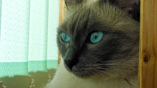 Beautiful Eyes of My Thai Cat