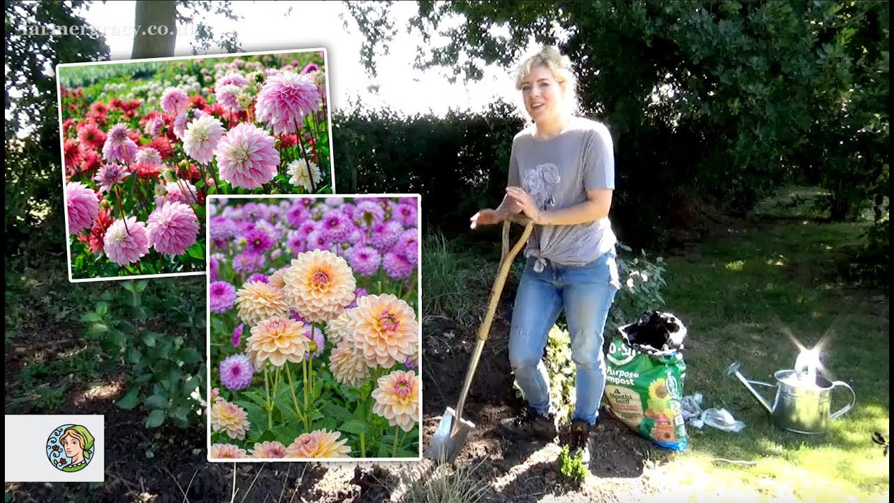 How To Plant Dahlia Tubers In A Border Farmergracy Co Uk Youtube