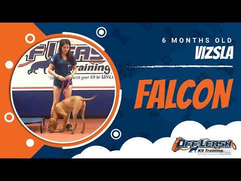 6-Month Old Vizsla, Falcon   Vizsla Dog Training