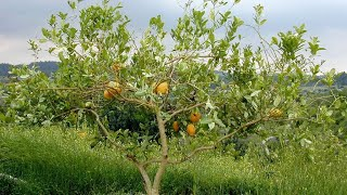 Elevating the Souls in Food - Fruits of Eretz Yisrael - Breslov Tu B'Shevat Customs (Entire Shiur)
