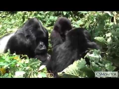 Standing up for Congo's rare mountain gorillas
