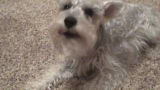 Funny Miniature Schnauzer Dog Bark