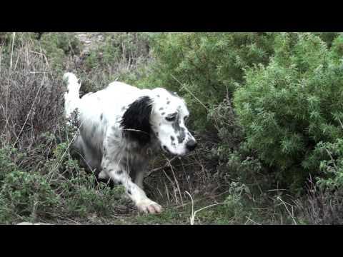 Pheasants Hunting in Greece - Κυνήγι φασιανού
