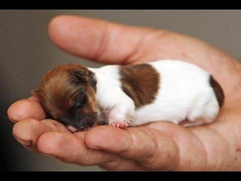 Dünyanın En Küçük 10 Köpeği