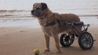 Border Terrier Benson - Wheels Of Hope