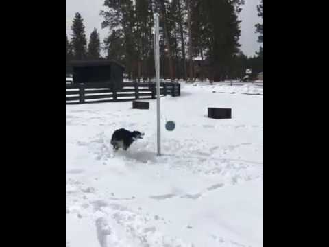 This Dog Loves Playing Tetherball