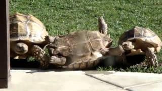 mqdefault Amazingthe Tortoise Turning Over Smart Companion Has