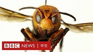 殺人蜂襲美國 專家:毒液可攻擊內臟致命- BBC News 中文