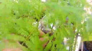 Jacaranda Plants