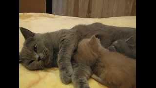 Британская кошка кормит котят