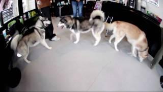 シベリアンハスキーのバズ・チョコ・ピッコリーナ Funky Dogsのコミュニ...