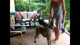 Weimaraner Helios Doing Tricks