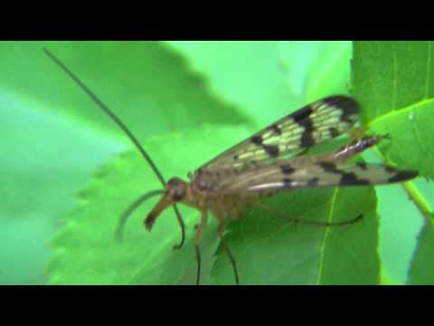 Scorpionfly (Mecoptera)