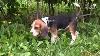 Если щенок упирается и не идёт на поводке, с чего начинается дисциплина на прогулке, бигль