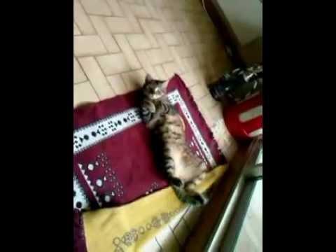Chat qui aime le Reggae