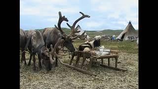 В гостях у оленеводов, сбор пантов
