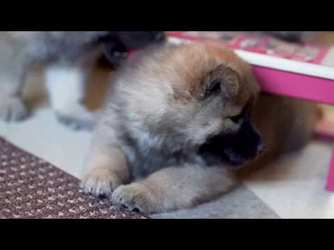 Eurasier Puppies - 7ish Weeks Old