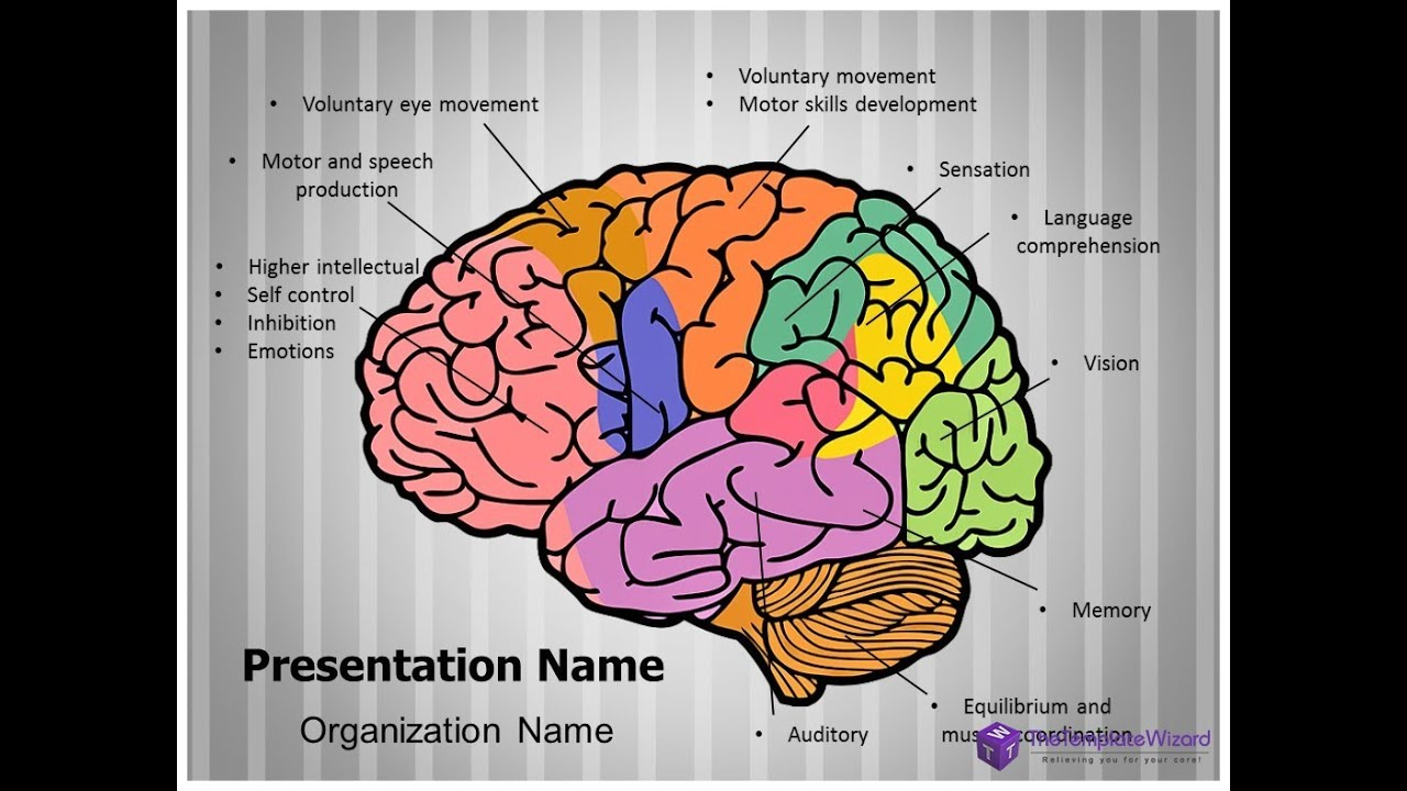 Brain Function PowerPoint Presentation Template - TheTemplateWizard ...