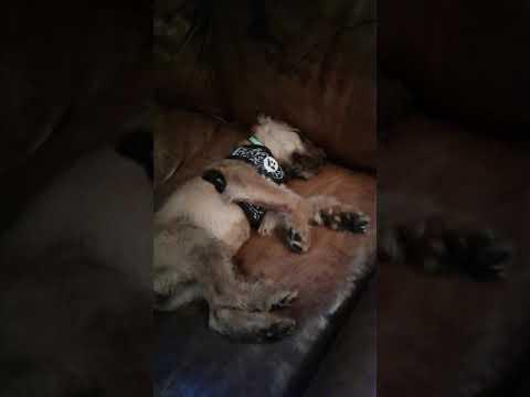 Sleepy Irish Terrier Puppy