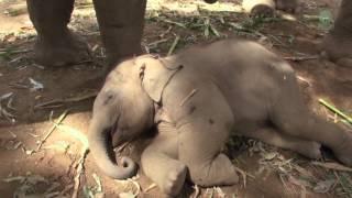「え~起きるのやだよ、まだ眠いもん」どんなに起こされてもどこ吹く風。起きる気のなさげなゾウの赤ちゃん