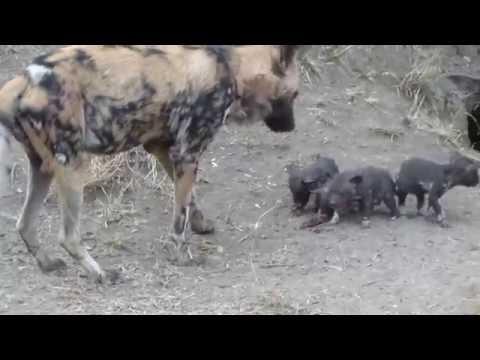 African Wild Dog Puppies at Den